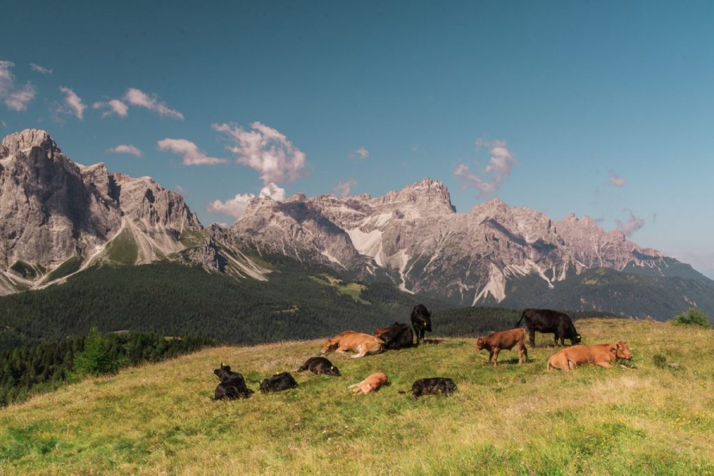 Mucche davanti alle crode