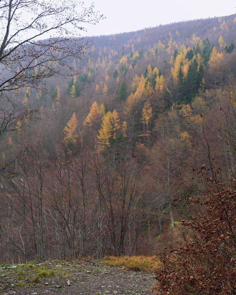 Larici gialli nel bosco